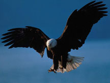 Bald%20Eagle%20in%20Flight,%20Alaska[2].jpg