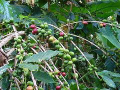 africancoffee.jpg